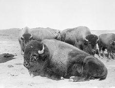 Buffalo on the prairie 1800's.