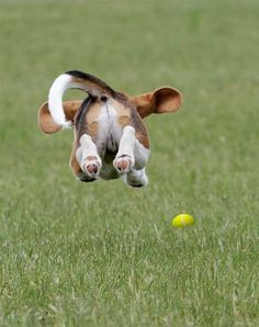Flying Beagle • from APlaceToLoveDogs.com • dog dogs puppy puppies cute doggy doggies adorable funny fun silly photography flying