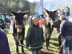 La 7eme Rencontre des Muletiers aux Contamines Montjoie (74), le samedi 17 octobre 2009. Par Deny Fady. De grosses et jolies mules (issues de percherons je crois) qui venaient du Vercors... (photos Deny Fady). Courtesy: Association HIPPOTESE, Villers, Levier (France).