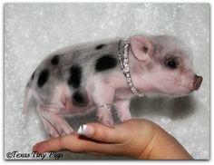 World's Smallest Pet Pigs! Texas Tiny Pigs - Babies Available Now! Mini Teacup Pigs, Teacup Piglets, Cute Piglets, Small Pet Pigs, Tiny Pigs, Animals And Pets, Baby Animals, Cute Animals, Miniature Pigs