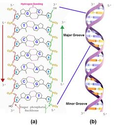 Essay on molecular structure of nucleic acids?