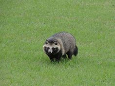 タヌキ / Raccoon dog
