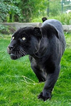 Black panther in the corner of my i.