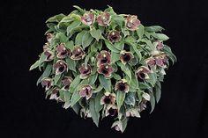 Promenaea stapelioides_5314