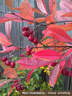 Red Chokeberry – Aronia arbutifolia - Maryland native with antastic red, orange and yellow colors in the fall with deep blue berries that persist through the winter. 10' x 5' makes a great hedge -