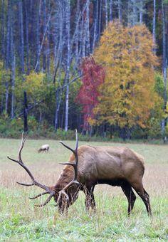 Elk in the Smoky Mountains Wild Creatures, Woodland Creatures, Elk Hunting Tips, Elk Pictures, Wild Animals Photos, Bull Elk, Mule Deer, Animal Games, Wild Nature