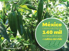 México cuenta con más de 140 mil hectáreas destinadas al cultivo de chile. SAGARPA SAGARPAMX #SOMOSPRODUCTORES