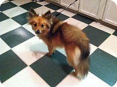 12/11/14 Columbia, SC - Sheltie, Shetland Sheepdog/Pomeranian Mix. Meet Foxy, a dog for adoption. http://www.adoptapet.com/pet/12069485-columbia-south-carolina-sheltie-shetland-sheepdog-mix