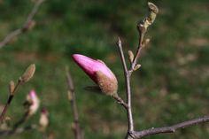 magnolia bud by mircea.az on YouPic Canon Eos, Bud, Magnolia, Nature, Naturaleza, Magnolias, Nature Illustration, Off Grid, Gem