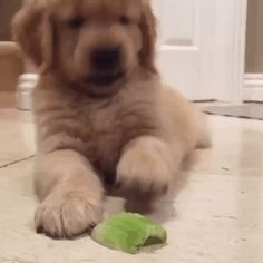 GIPHY is your top source for the best & newest GIFs & Animated Stickers online. Find everything from funny GIFs, reaction GIFs, unique GIFs and more. Puppy Cam, Puppies Gif, Game Mode, Gt V, Pet Camera, Dog Behavior, Raw Food Recipes, Celery, Cat Lovers