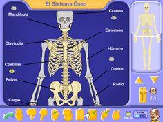El sistema óseo, el aparato locomotor del cuerpo humano - juegos interactivos Pipo