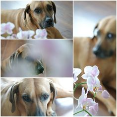 Rhodesian Ridgeback, Labrador Retriever, Dogs, Animals, Labrador Retrievers, Animales, Animaux, Pet Dogs, Doggies