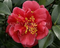 'Tama Vino' Camellia japonica. Spring. Wine red with white edges, a semi double. Kinsey Family Farm Gainesville, GA.