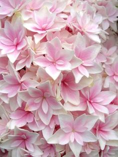 HYDRANGEA DOUBLE DELIGHTS FREEDOM ✿~༺♥༻~✿