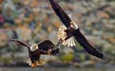 Two bald eagles fight over a fish in mid-air.