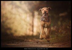 Airedale Terrier im Anflug von Fokussierte Augenblicke