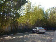 p - Black bamboo