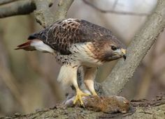 Beautiful Red Tailed hawk