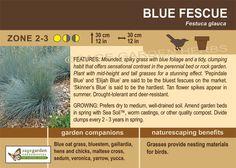 Sage Garden - Blue Fescue