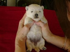 Westie puppy.  They are called Polar Bear puppies 'cause they look like itty bitty polar bears when they are little....so cute!!