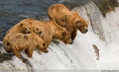 5 bears and a fish