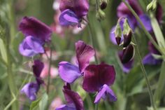 It's all about Sweet Peas!! Join us in growing them, build a growing support for the plants, and share your success with us.