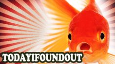 Why You Should Never Leave a Goldfish in a Small Fish Bowl Alone - Today...