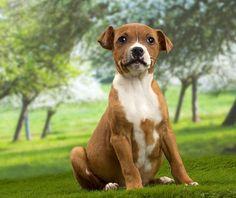 #Amstaff #dog American Dog, Staffordshire Bull Terrier, Thor, Boston Terrier, Dog Breeds, Pitbulls, Dogs, Animals, Boston Terriers