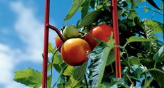 L.A. at Home :: Best tomato cages: Six picks from the pros