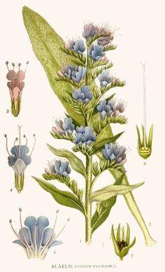 Viper's bugloss. From Carl Axel Magnus Lindman: Bilder ur Nordens Flora (1901-1905). Copyright: Public domain. [viper's bugloss, Echium vulgare, Boraginaceae]