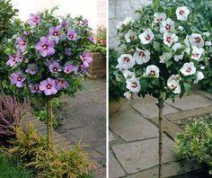 Hibiskus Stämmchen - verschiedene Farben Planting Flowers, Plants, Garden, Outdoor, Planters, Flowers, Floral, Container Gardening, Yard Landscaping