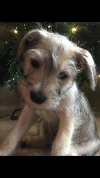 Schnauzer (Miniature) puppy for sale in SOUTH BEND, IN. ADN-57645 on PuppyFinder.com Gender: Male. Age: 10 Weeks Old