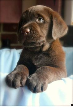 Mind Blowing Facts About Labrador Retrievers And Ideas. Amazing Facts About Labrador Retrievers And Ideas. Perro Labrador Retriever, Chocolate Labrador Retriever, Retriever Puppies, Labrador Puppies, Corgi Puppies, English Lab Puppies, English Labrador, Cute Puppies, Cute Dogs