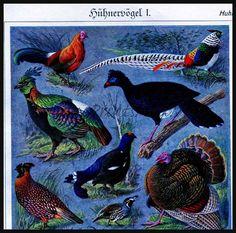 Birds Fowl Red Junglefowl Crax Tetrao Wild Turkey and more. Turkey Art, Wild Turkey, Natural History, Birds, Nature, Red, Animals, Vintage, Etsy
