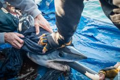 We are pleased to announce our newest sharks tagged during #ExpeditionChile.