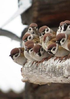 I see a bunch of these birds in the philippines 😂 Cute Birds, Small Birds, Pretty Birds, Little Birds, Beautiful Birds, Animals Beautiful, Animals And Pets, Cute Animals, Kinds Of Birds