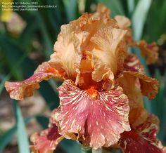 TB Iris germanica 'Cheetah Cheese' (Kasperek, 2001)