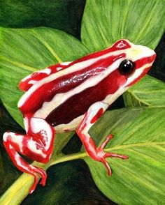 Phantasmal poison frog (Epipedobates tricolor) is a type of frog endemic to E .-- Phantasmal poison frog (Epipedobates tricolor) is a type of frog endemic to E … Les Reptiles, Reptiles And Amphibians, Beautiful Creatures, Animals Beautiful, Frosch Illustration, Types Of Frogs, Animals And Pets, Cute Animals, Frog Pictures