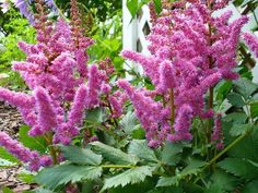 """Perfectly sized for containers or the front of the border, 'Little Vision in Pink' offers all the same great traits as the original 'Vision in Pink' but in a smaller package. Standing about 16"""" in blo"""
