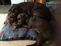 Phoebe & Maisie - Chocolate Labrador Retrievers | Flickr - Photo Sharing!
