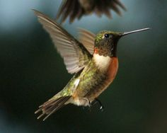 tips for hummingbird photograpy