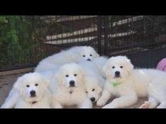 Great Pyrenees Puppies.. Montagne Majeste