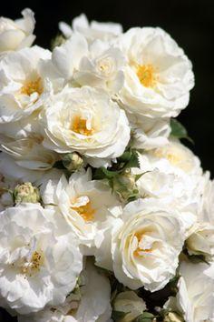 Beautiful Roses, Beautiful Gardens, Beautiful Flowers, My Flower, Flower Power, White Roses, Red Roses, Garden Shrubs, Herb Garden