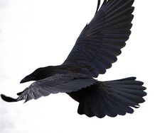 Beautiful raven in-flight. Perfect for seeing details of feathers and body form when in flight.