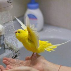Budgie take a shower