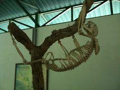 sloth skeleton by drewdomkus, via Flickr