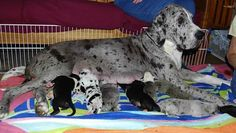 """Mama Olive snuggles with her 10 newborn Great Dane puppies - aptly nicknamed Olive's """"pimentos"""" - at the Service Dog Project in MS."""
