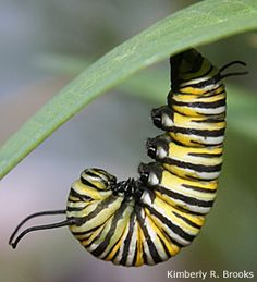 Want to help butterflies? Cater to caterpillars!