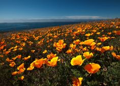 Poppies by Louie Schwartzberg