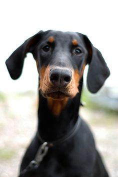 Cute Doberman puppy